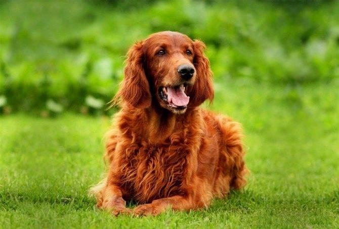 Порода собак ирландский сеттер — каштановая радость