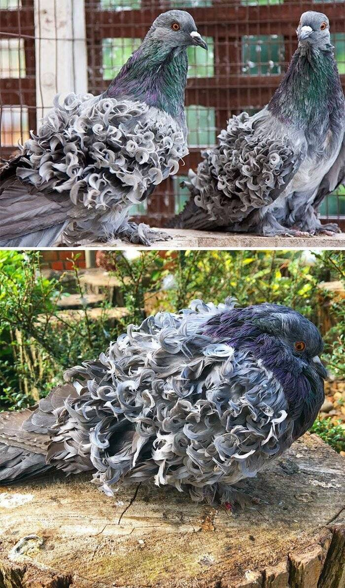 Самые большие голуби планеты: фото и описание