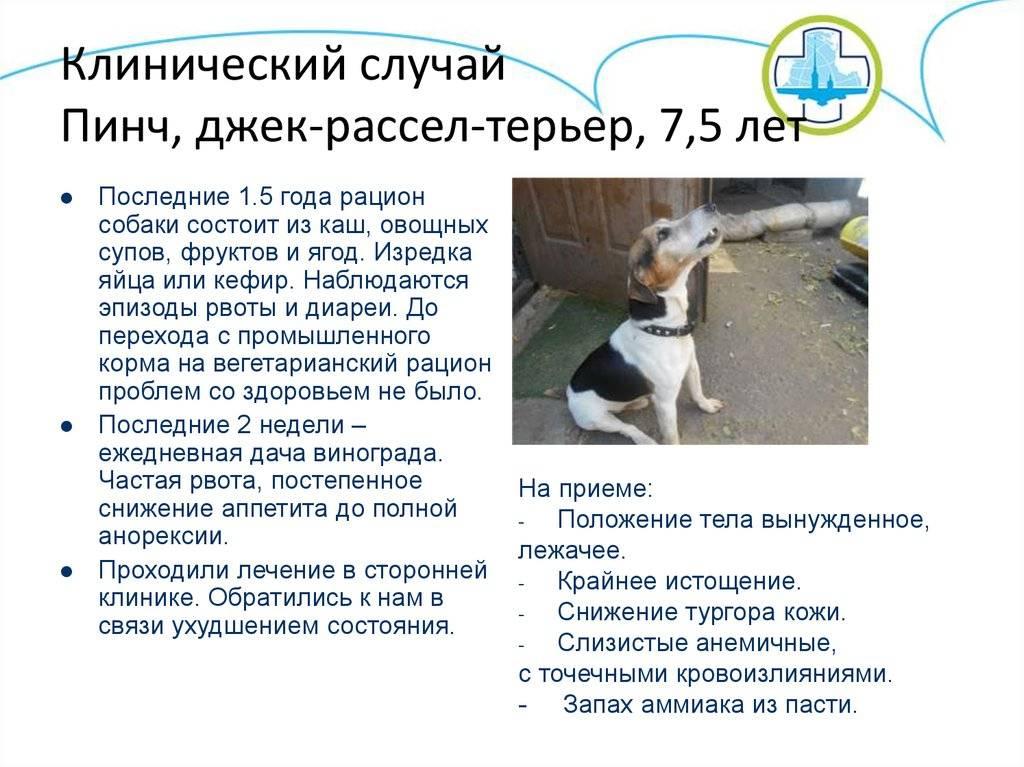 Джек рассел терьер собака. описание, особенности, уход и цена джек рассел терьера