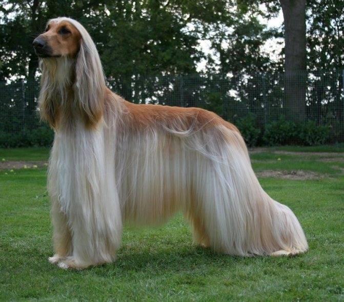 Самые быстрые породы собак – список, описание, максимальная скорость, фото и видео  - «как и почему»