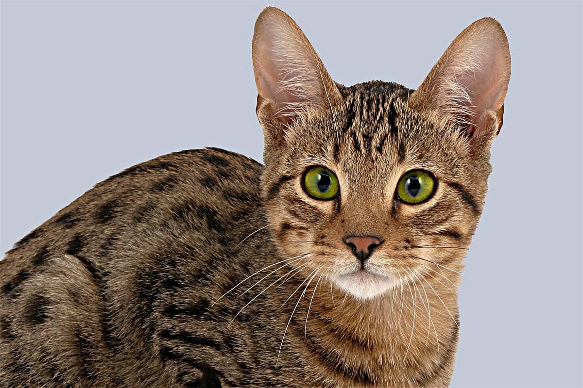 Породы кошек – самые умные, дорогие, редкие, крупные, лысые и другие группы животных