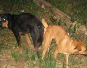Почему собаки слипаются во время спаривания