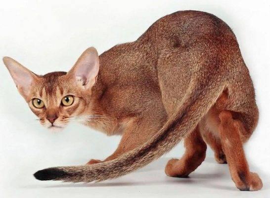 Гипоаллергенные кошки:  миф или реальность?