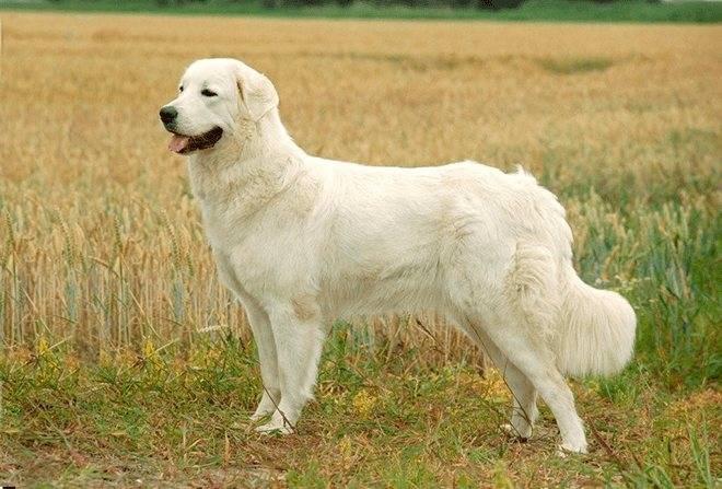 Польская подголянская овчарка — описание, характер, фото, цена