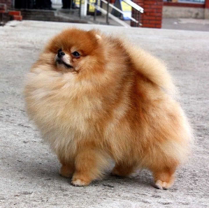 Порода собак померанский шпиц