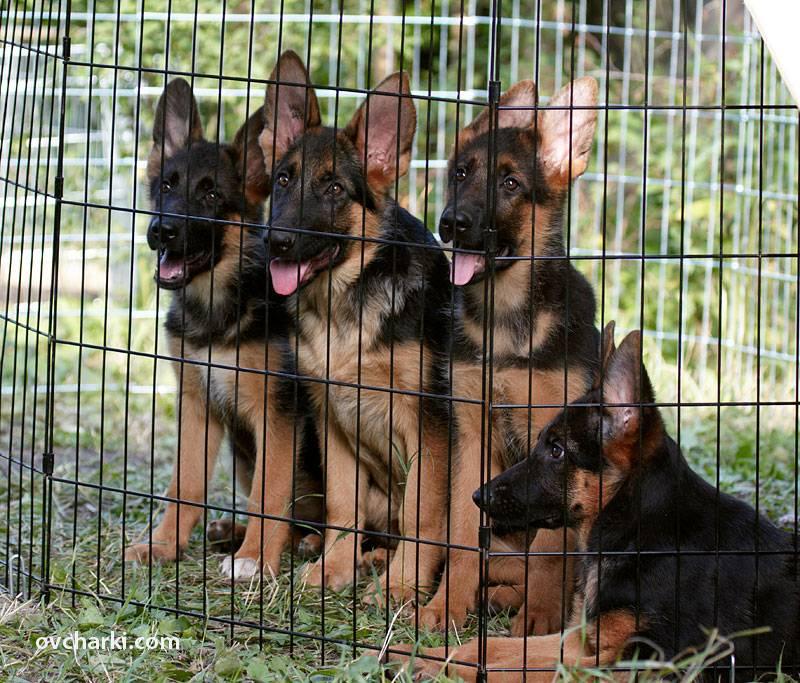 Первый день щенка немецкой овчарки в новом доме - советы, что нужно делать, как подготовиться, с чего начать