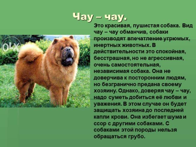Чау-чау – описание породы собак с синим языком