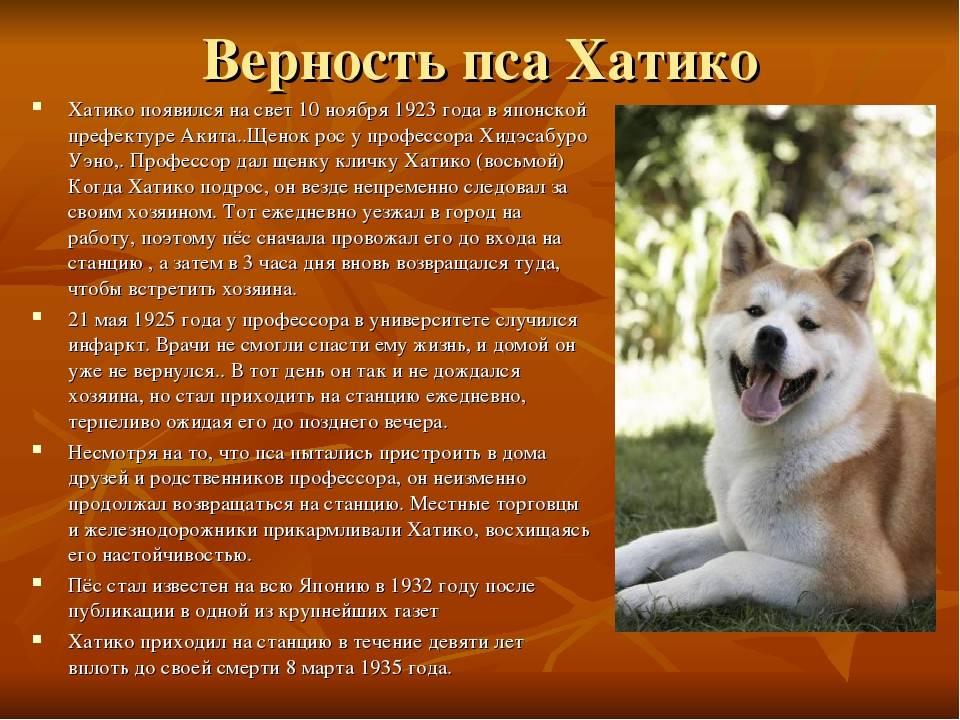 Порода хатико: описание породы собаки из фильма