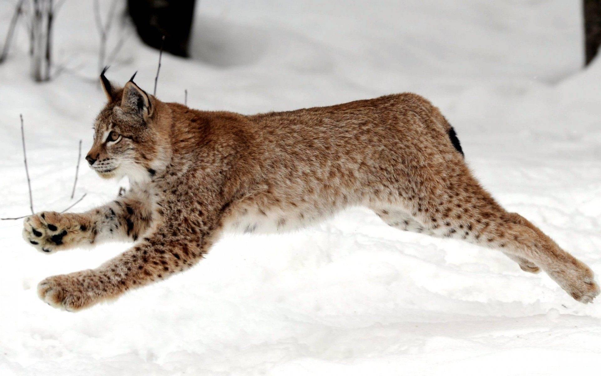 Амурский тигр: интересные и удивительные факты