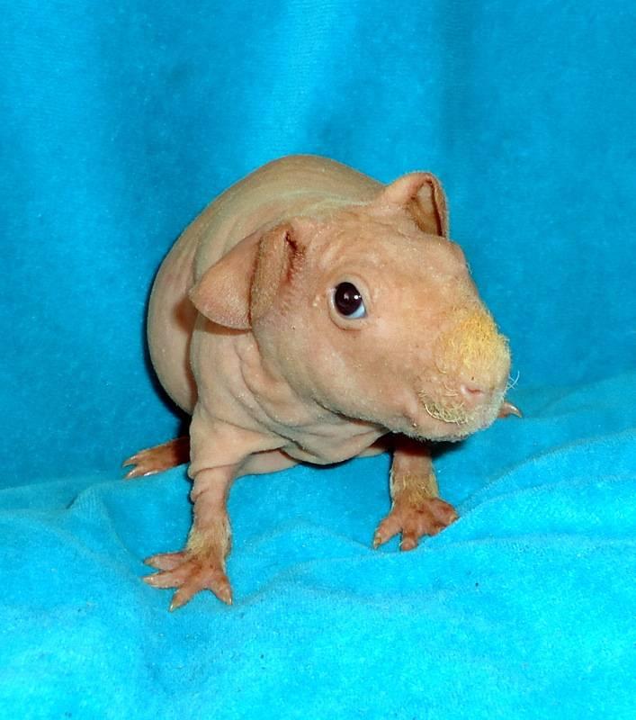 [новое исследование] морская свинка крестед: описание американской и английской породы, уход, пиитание, содержание и отзывы