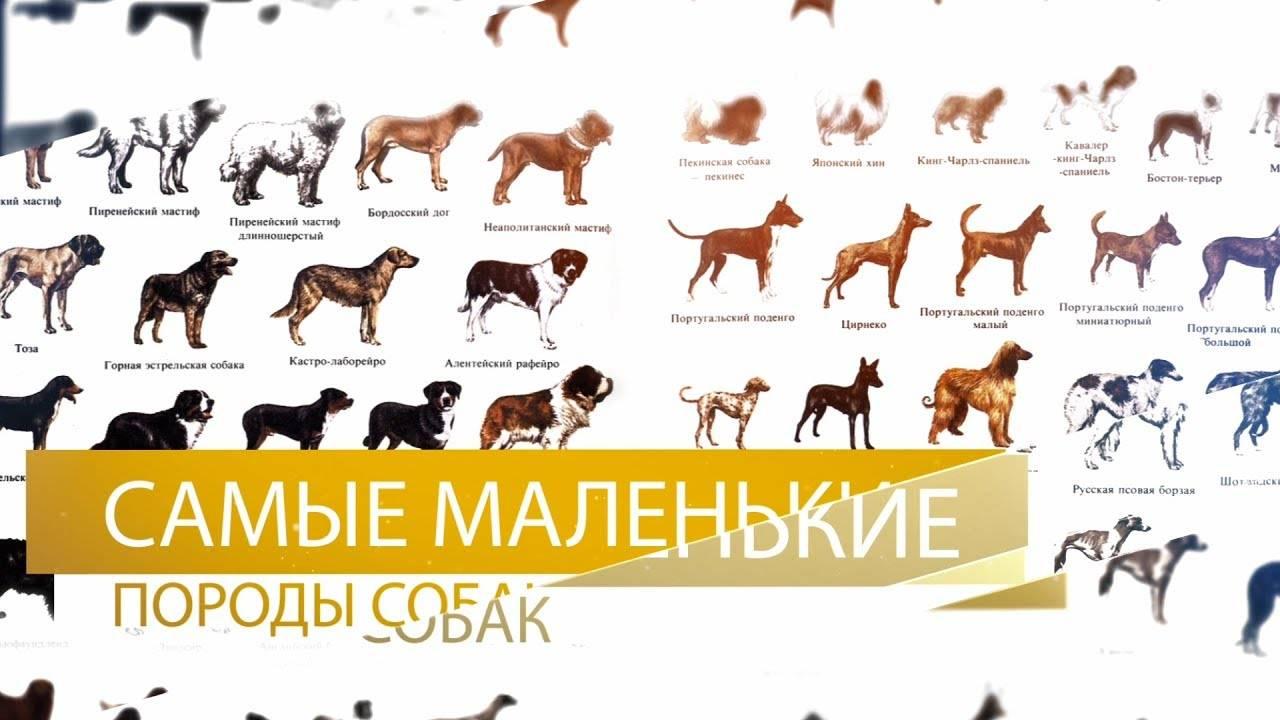 Самые маленькие породы собак: фото с названиями, в мире