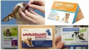 За сколько дней до прививки нужно давать кошке глистогонные препараты, обязательно ли глистогонить и зачем?