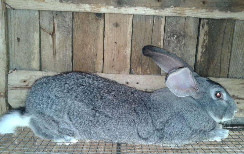Кролики серый великан: описание породы, содержание, кормление, фото