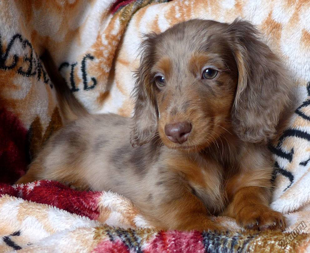 Какого цвета могут быть глаза у собак: красивые голубоглазые породы