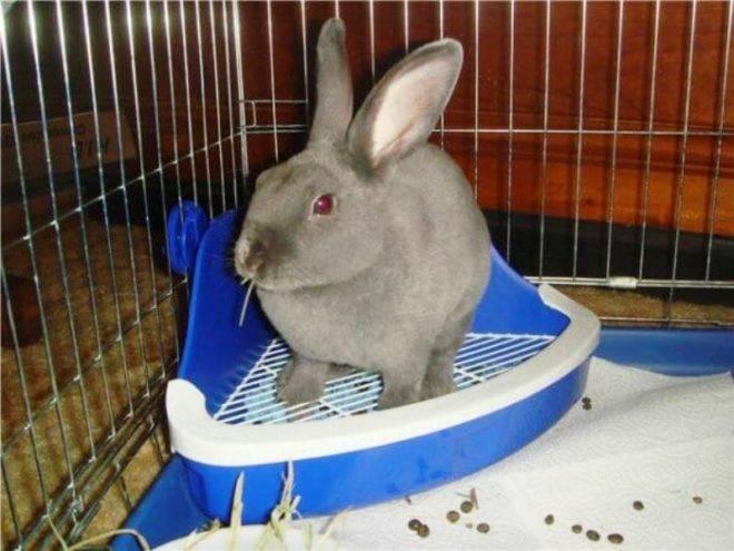 Как самостоятельно приучить кролика к лотку