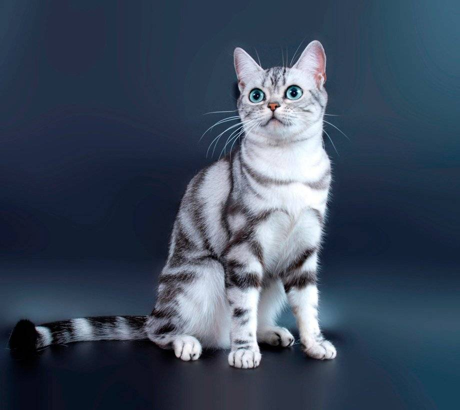 Американская короткошерстная кошка: характер, уход и питание