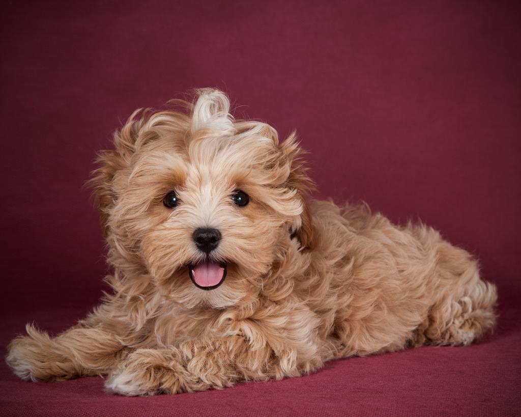 Мальтипу (собака): описание мини породы, сколько живут, размер