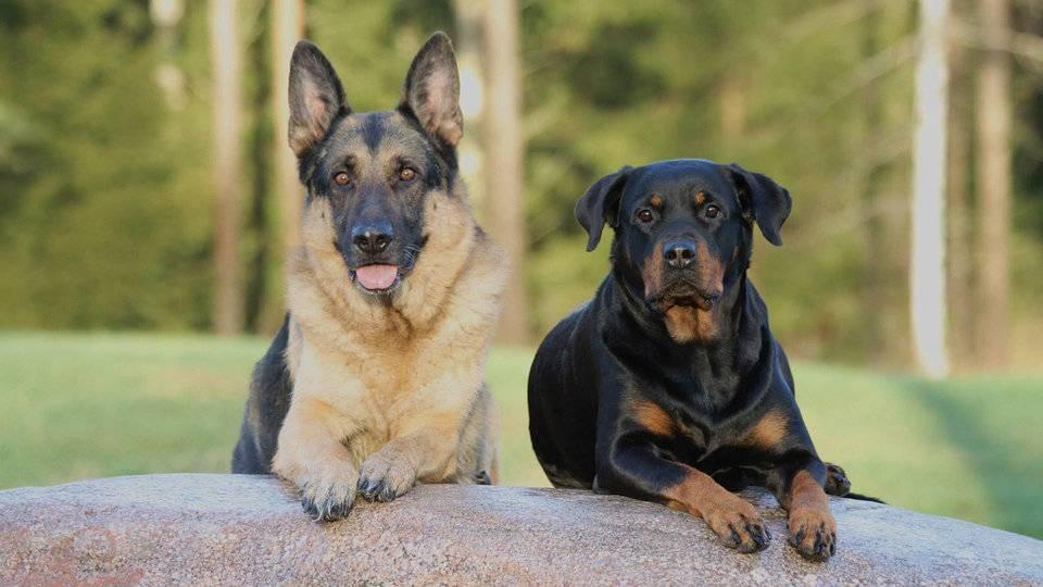 9 пород собак для охраны частного дома и какую выбрать