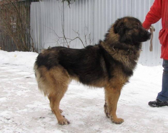 Помесь кавказской овчарки с немецкой - описание с фотографиями