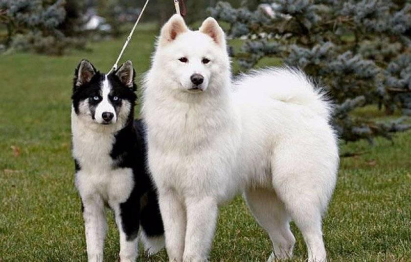 Охотничья собака лайка: как выглядит, разновидности, описание, уход и характер, фото - truehunter.ru