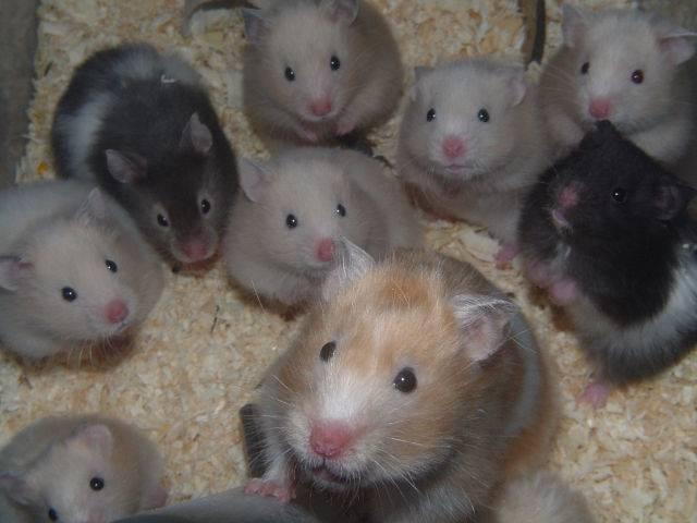 Имена для крыс-мальчиков: лучшие клички для декоративных домашних животных, список ласковых имен