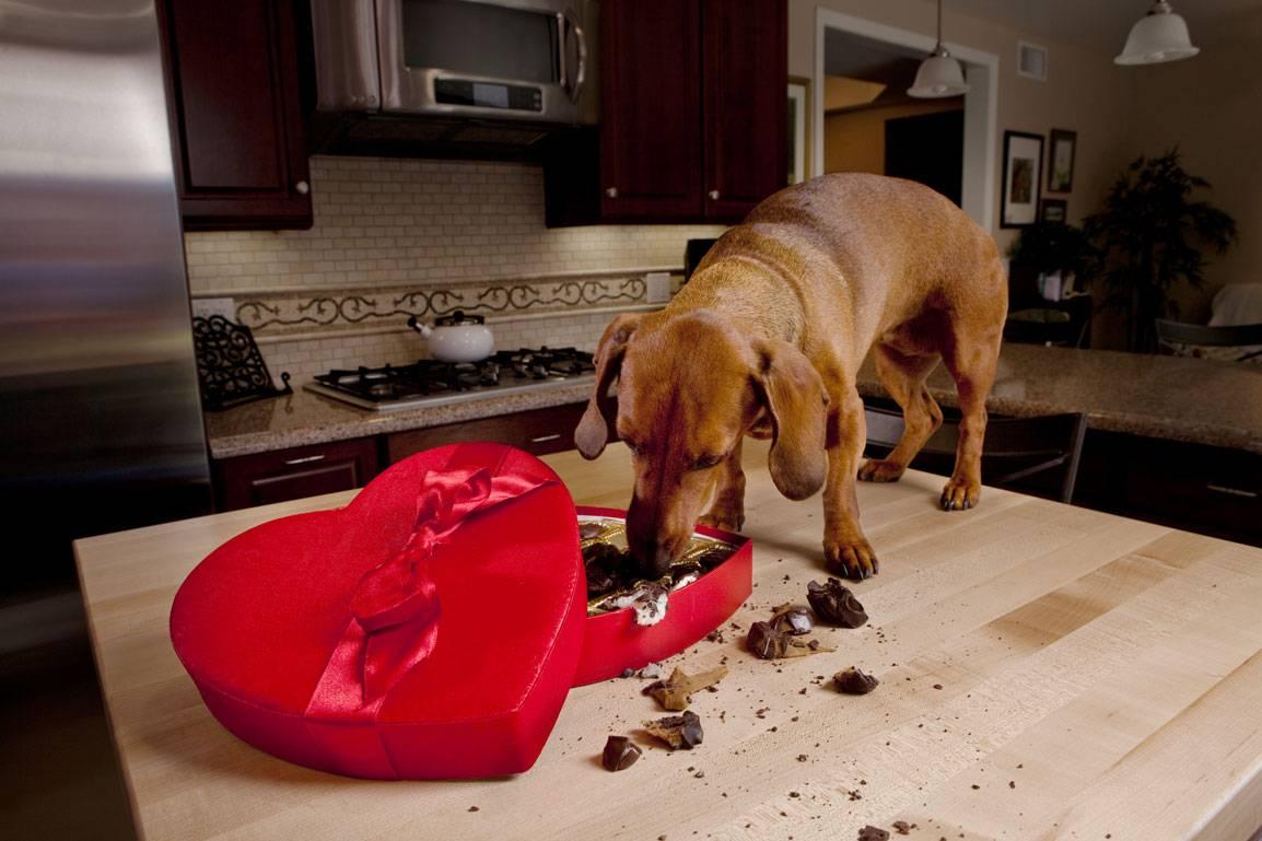 Почему собакам нельзя шоколад: чем вреден тёмный, молочный и другие? правда ли, что он ядовит и даже смертельно опасен?
