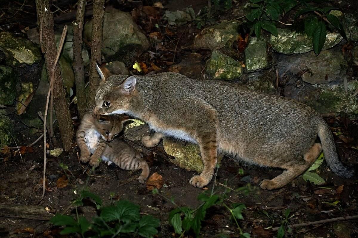 Камышовая кошка: ? описание, экстерьер, здоровье и содержание в неволе