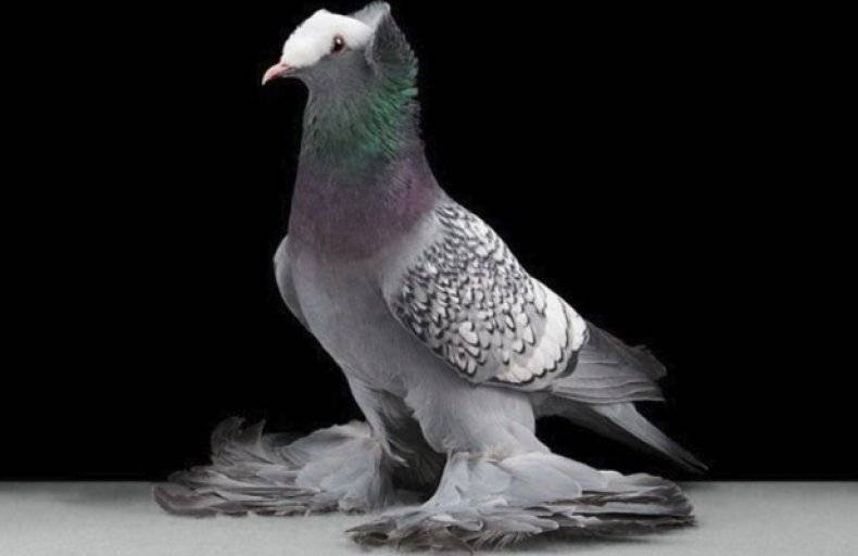 Красивые голуби: породы самых необычных птиц
