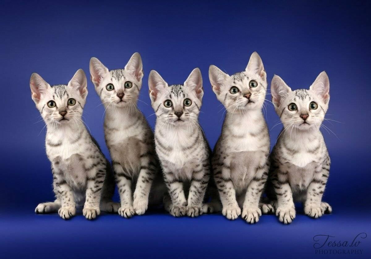 Египетские кошки: фото, описание, история происхождения, характер и содержание