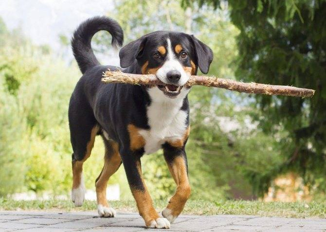 Особенности швейцарских аппенцеллер зенненхундов: интересно о пастушьих собаках