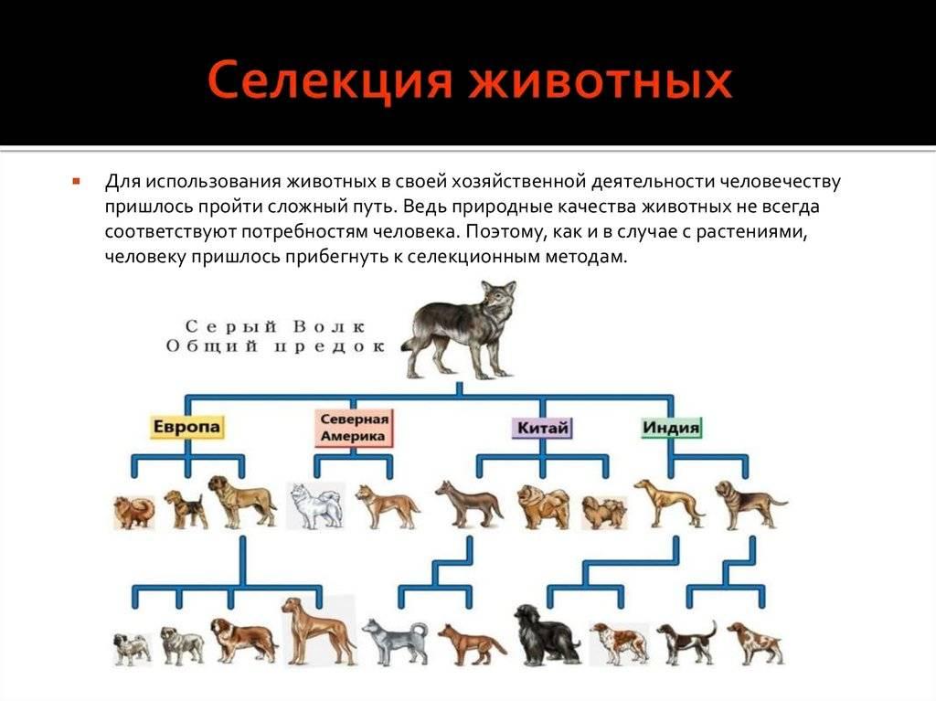 Воспроизводительное (заводское) скрещивание. охотничьи собаки