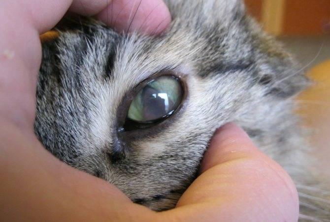 Чем промыть глаза котенку: варианты средств обработки