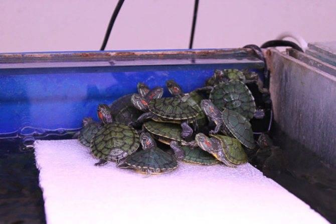 Все о красноухой черепахе: уход, кормление и содержание в домашних условиях