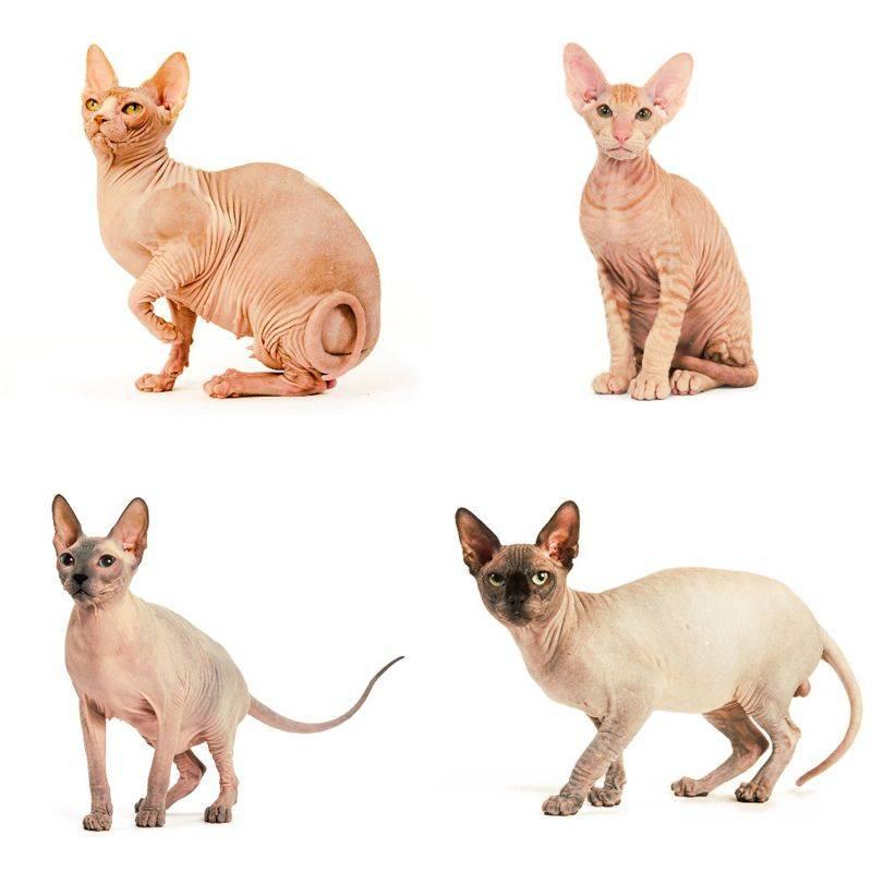 Породы кошек и собак для аллергиков и астматиков