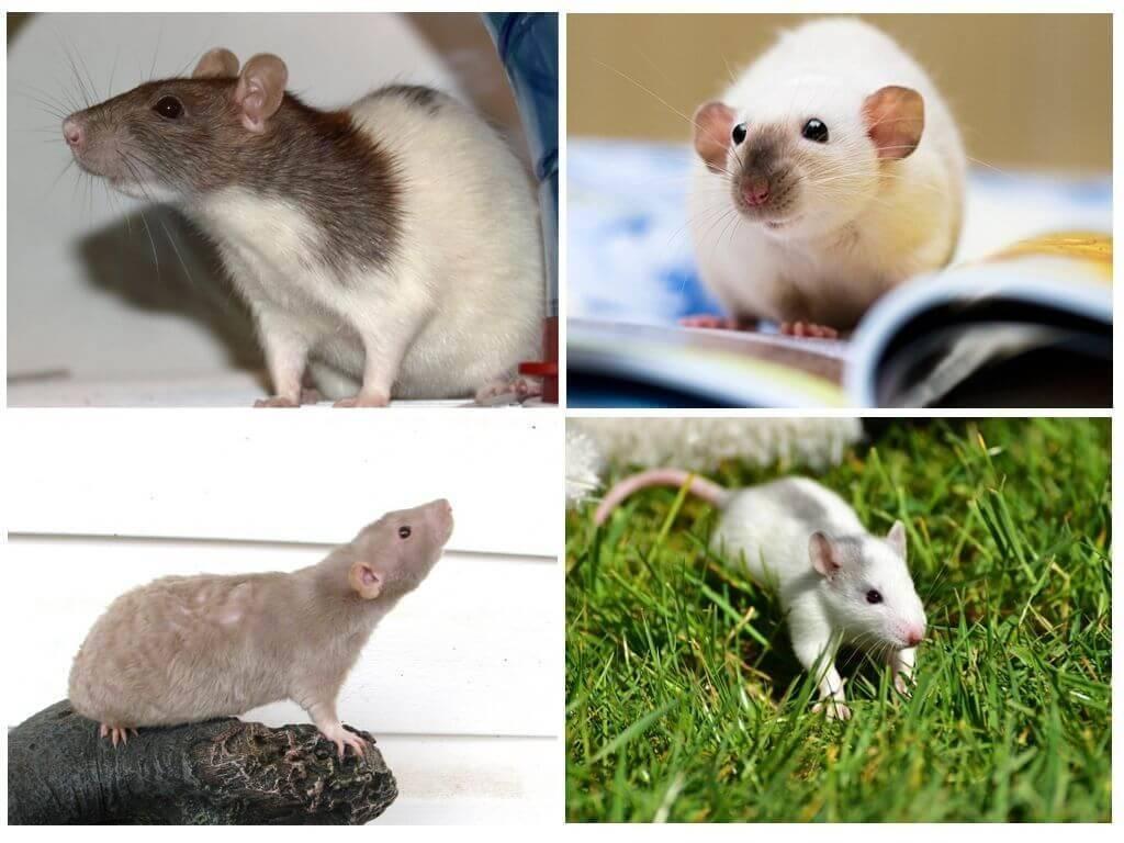 Виды домашних крыс — какие бывают расцветки