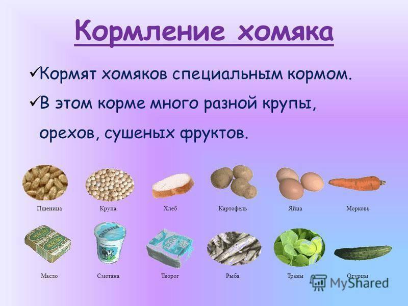 Сколько раз надо кормить хомяка в день