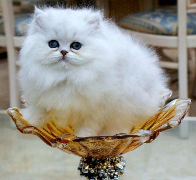 Персидская шиншилла кошка: пушистая красавица