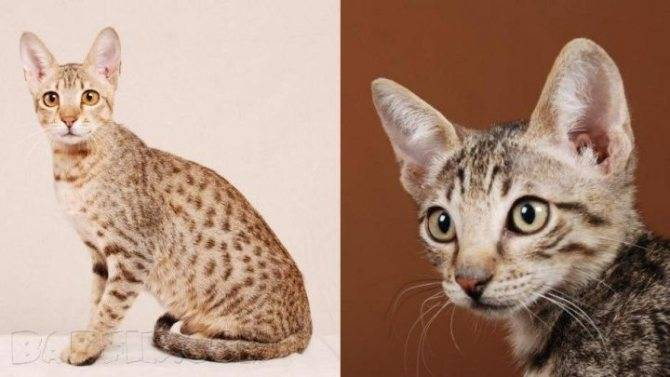 Породы кошек для аллергиков • аллергия и аллергические реакции