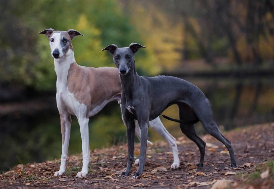 Левретка: описание породы, характер собаки и щенка, фото, цена
