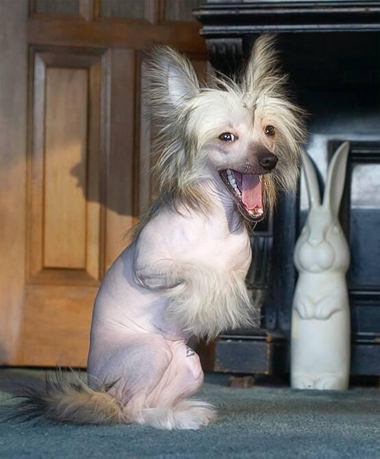 Китайская хохлатая собака: все о породе и особенности ухода, фото