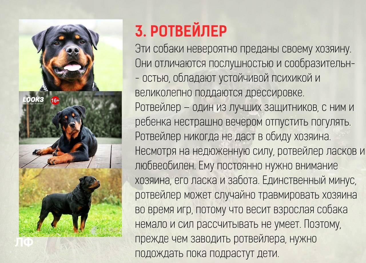 33 гипоаллергенные собаки для тех, кто не может жить без питомца