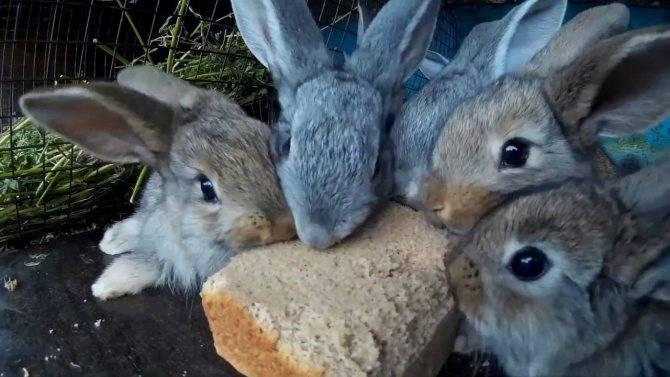 Можно ли кроликов кормить хлебом: все за и против