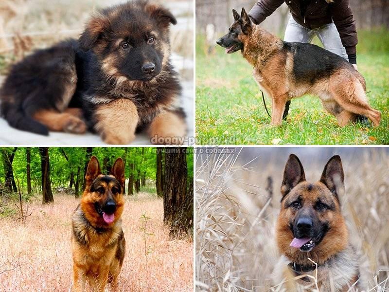 Клички для немецкой овчарки мальчика - красивые имена со значением для кобеля. - mydognames