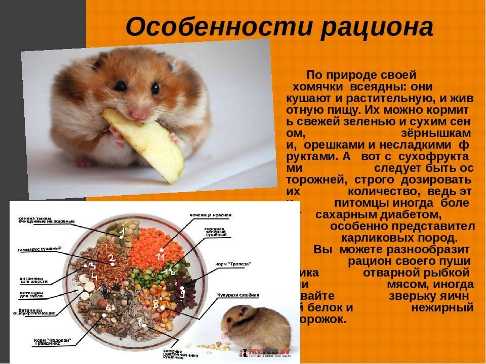 """Чем кормить джунгарского хомяка в домашних условиях — список \""""можно\"""" и \""""нельзя\"""""""