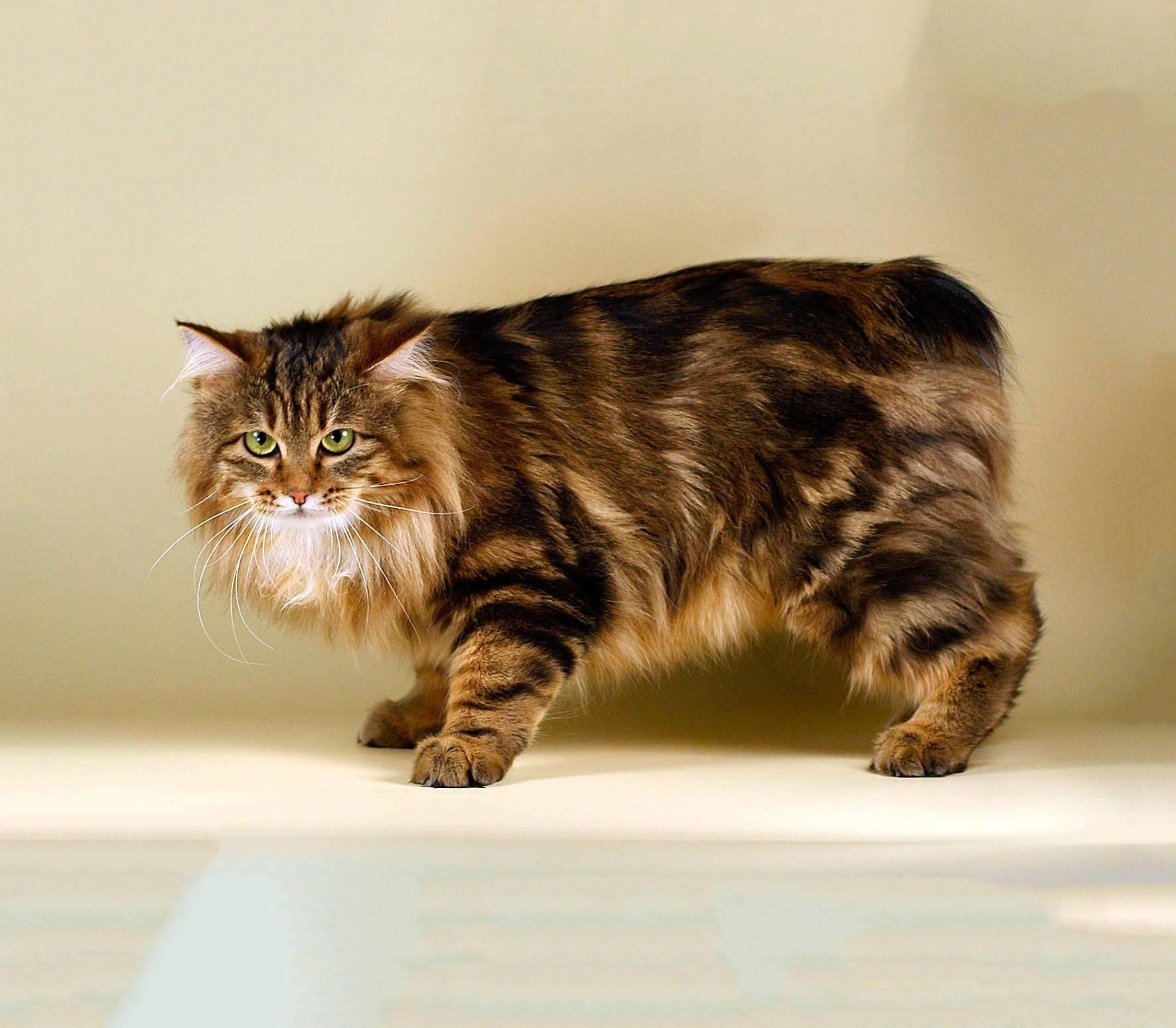 Американский бобтейл: описание породы кошек, характер, отзывы, фото