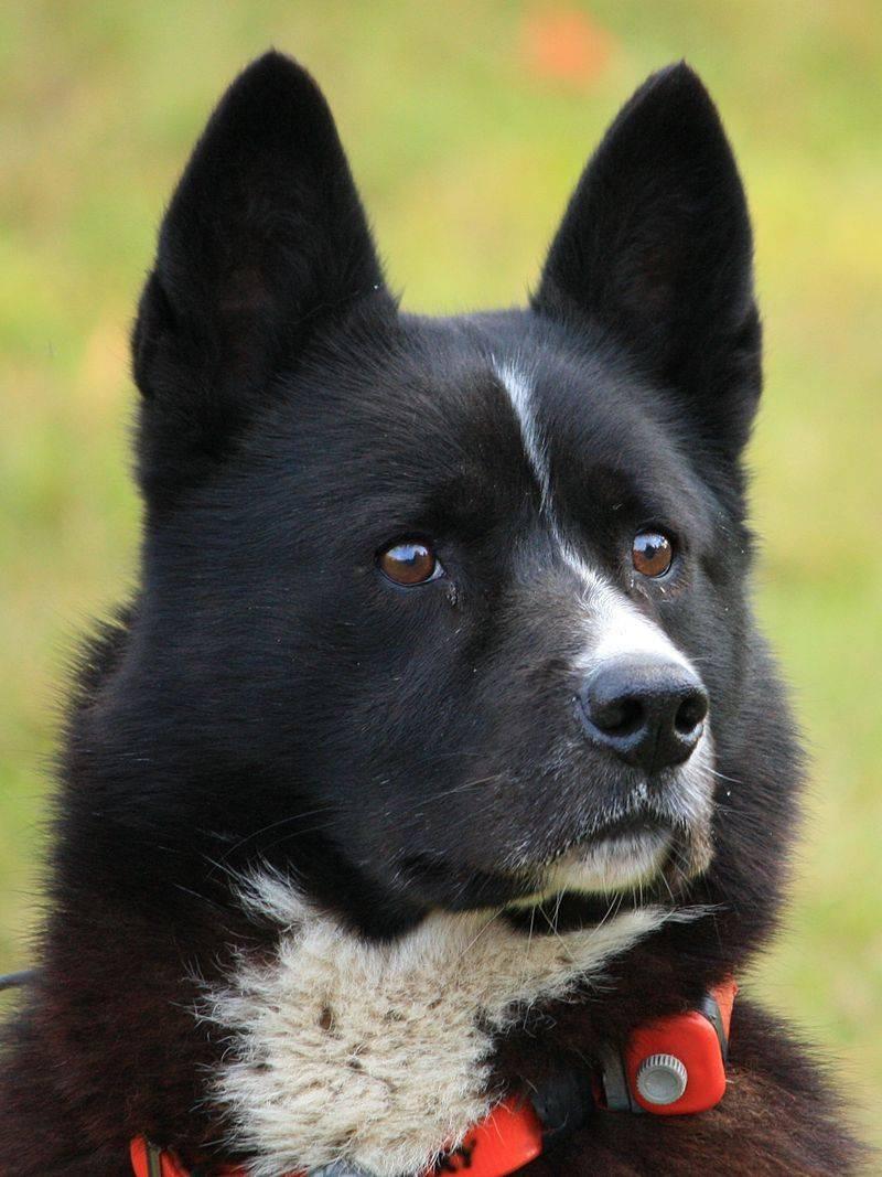 Подробное описание породы собак карельская медвежья лайка