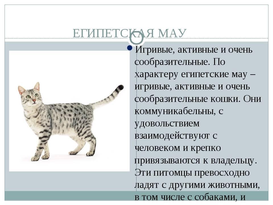 Египетская мау: порода кошек от фараонов до наших дней