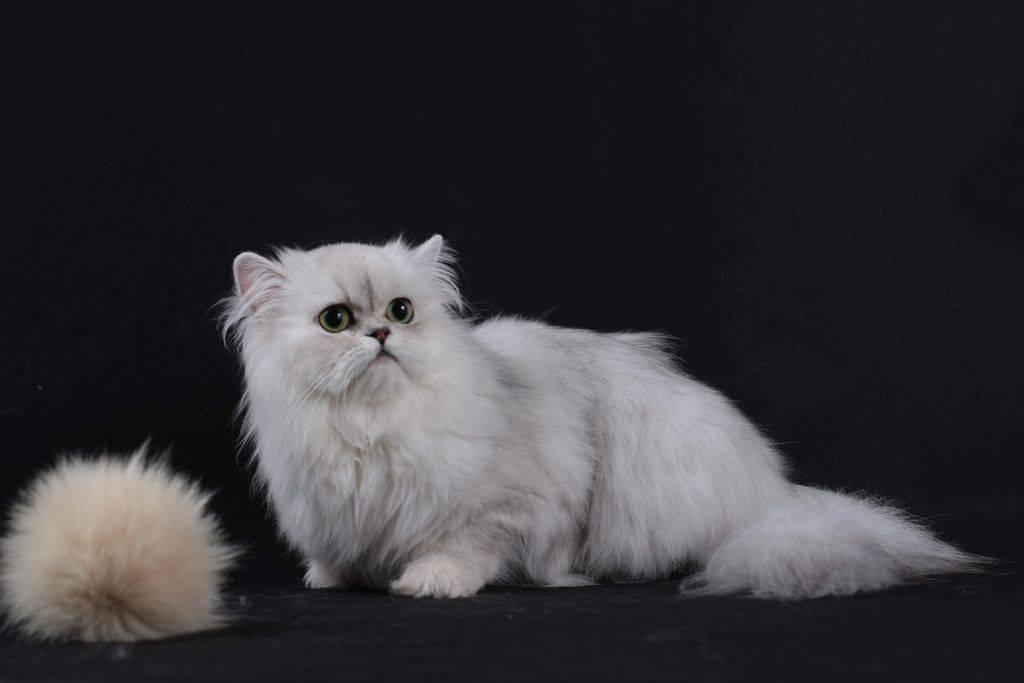 Кошка серебристая шиншилла (32 фото): описание котят серебряного окраса. характер котов породы серебристая шиншилла