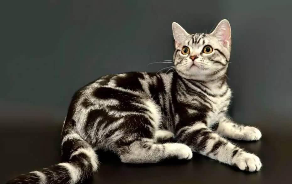 Американская короткошёрстная кошка: описание породы, характер, цена, уход и содержание, фото