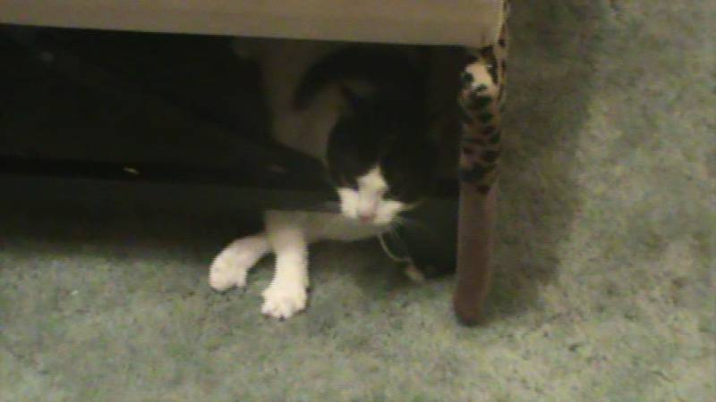 Эпилепсия у кошек: что делать, как прекратить приступы, чем лечить